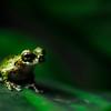 treefrog_CCC0080