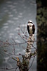 The predator, Osprey, looking out over the frozen lake.              <br /> Photographed from a basement window                  <br /> May 7, 2011