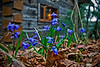 "Wild flowers in the cabin ""garden""<br /> May 2, 2010"