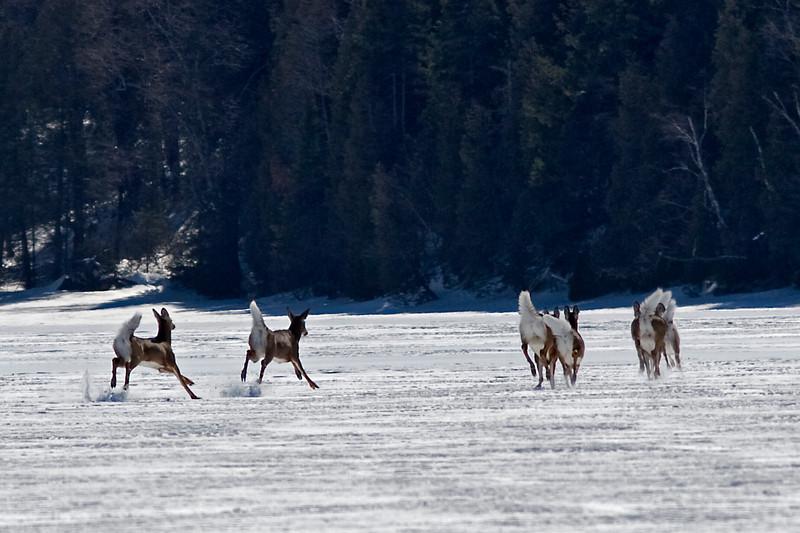 Deep snows forced deer onto the frozen lake.<br /> Lac a la Perchaude, March 17, 2008