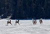 Deep snows forced deer onto the frozen lake.<br /> Lac a la Perchaude, March 17, 2008