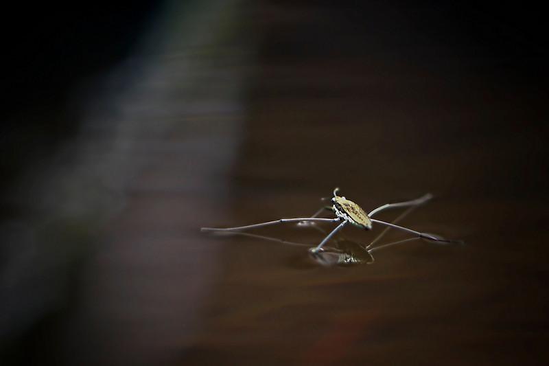Water bug<br /> September 6, 2010