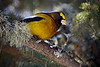 Shot from the mezzanine window<br /> Possibly an Evening Grosbeak (Male)<br /> March 4, 2009