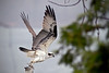 A few hours later, the Osprey dives again from its perch-of-the-day.<br /> 10h07, May 7, 2011