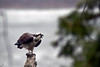 The Osprey stayed on this perch for hours<br /> sometimes calling to its mate who circled nearby.<br /> May 7, 2011