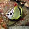 Barberfish, Johnrandallia nigrirostris