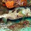 Balloonfish, Diodon holocanthus