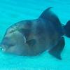 Blunthead triggerfish, Pseudobalistes naufragium