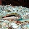 Barred serrano (juvenile), Serranus psittacinus