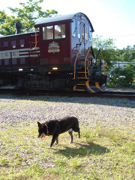 Reagan The Dog patrols the yard at Meredith, NH on June 10th 2012 after spending the night in the Rut 51