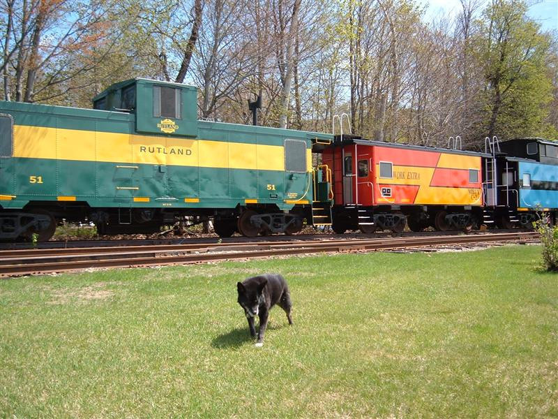 Reagan The Dog patrols the rail yards at Lincoln, NH on a fine Spring May 5th day. She has just spent the night in the Rutland 51 and is glad to be out in the fresh air.