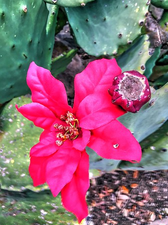 Cactus Flowers 12.31.15
