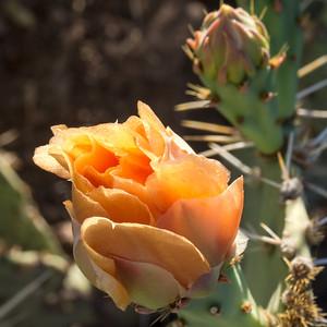 Cactus Flowers on Hieroglyphic Trail
