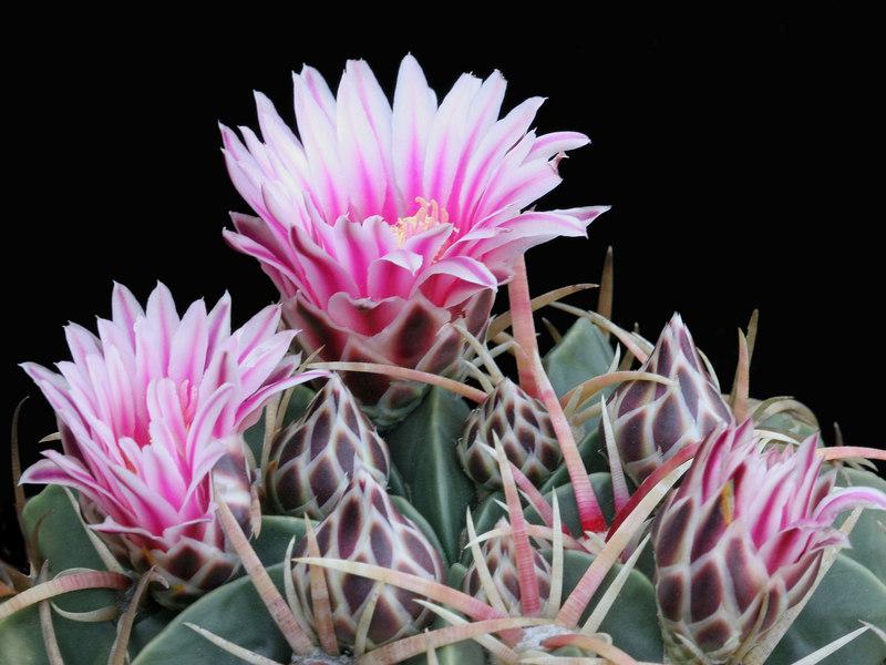 Ferocactus macrodiscus ssp macrodiscus -buds and flowers