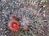 Ferocactus peninsulae ssp. viscainensis -Baja Caliofornia, Mexico -some have re-classified this as a form of F. gracilis ssp. coloratus -this is the origional name