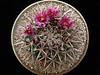 """F. fordii ssp borealis -DJF7 -for reference, the dish measures 10"""" dia"""