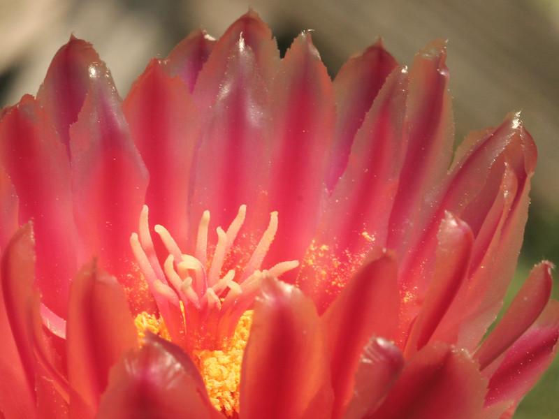 Ferocactus gatesii -a flower closeup