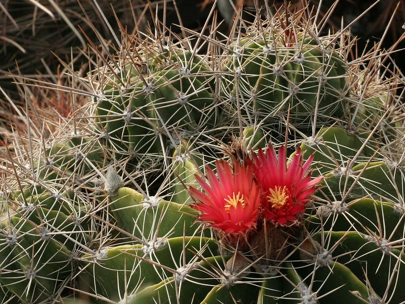 Ferocactus flavovirens -Oaxaca, Mexico