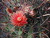 Ferocactus peninsulae ssp. viscainensis - a close view of the flower and apex