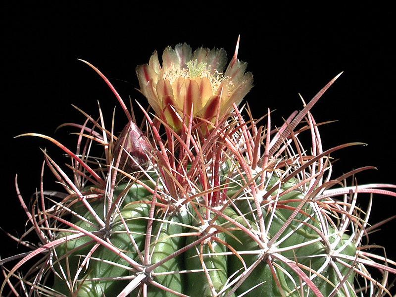Ferocactus orcuttii -ex CSSA 94 seed