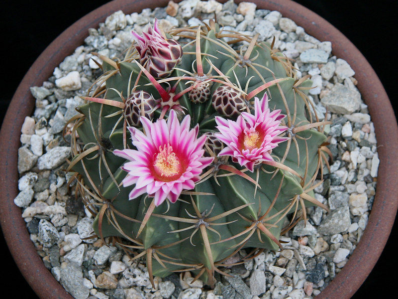 Ferocactus macrodiscus ssp macrodiscus -San Luis Potosi, Guanajuato, Oaxaca