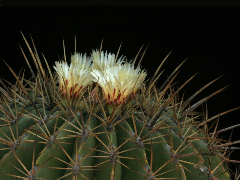 Ferocactus echnide -Central Mexico