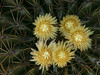 Ferocactus echnide, a closer look at the flowers