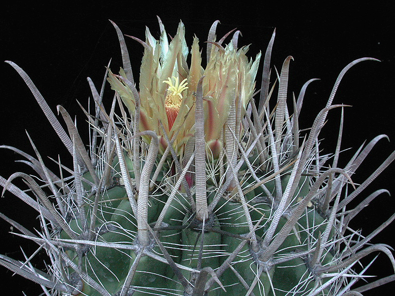Ferocactus townsendianus v. Santa Maria