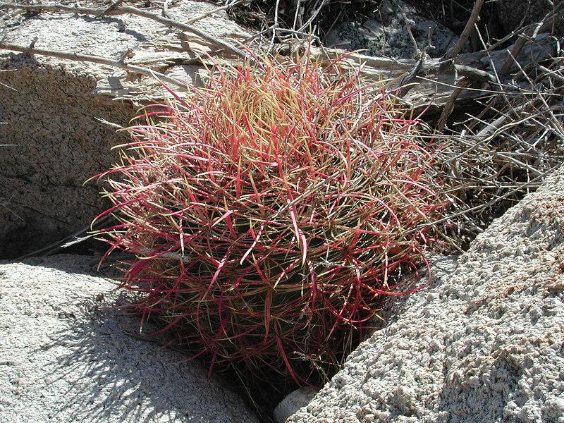 Ferocactus cylindraeus - Rattlesnake Canyon @ JTNP