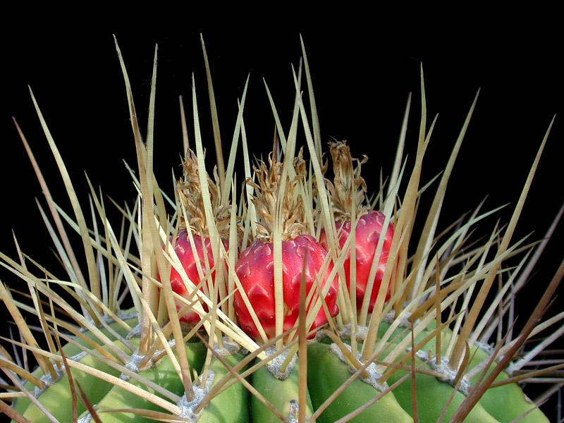 Ferocactus repenhaggii -ex MG428.5 seed