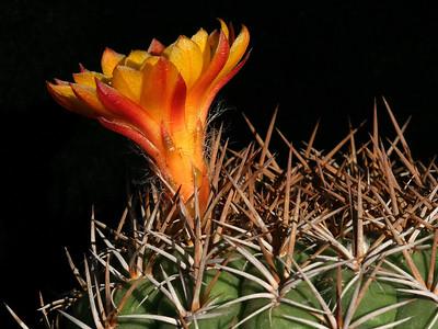 Matucana sp. 'Chugur' -a side view showing the flower tube