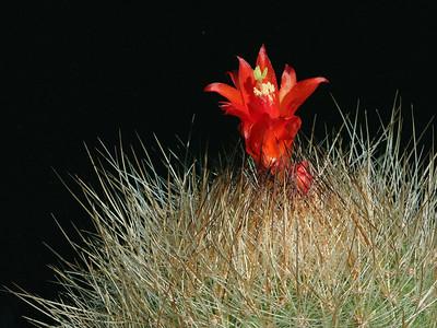 M. haynei v. grandiflora -KK1548 Matucana, Peru 2,200m an older plant