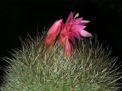 Matucana comacephala v. luteispina KK774, Chavan, Peru 3800m