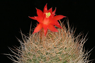 M. haynei, flower & spines -KK275, Matucana, Peru