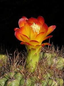 M. aurantiaca -UCBG ex Bloss