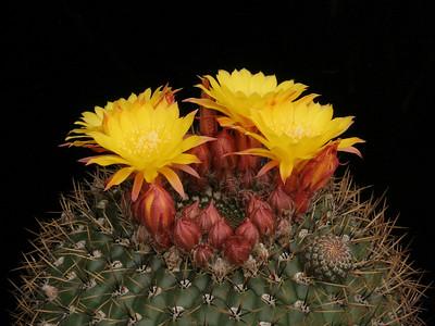 M. aureiflora -hort ex C&J