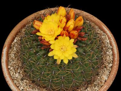 M. aureiflora v. elata -KK1315, Cajamarquilla, Cajamarca, Peru 2800m