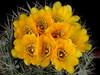 Weingartia platygona -ex MG1602.884 seed