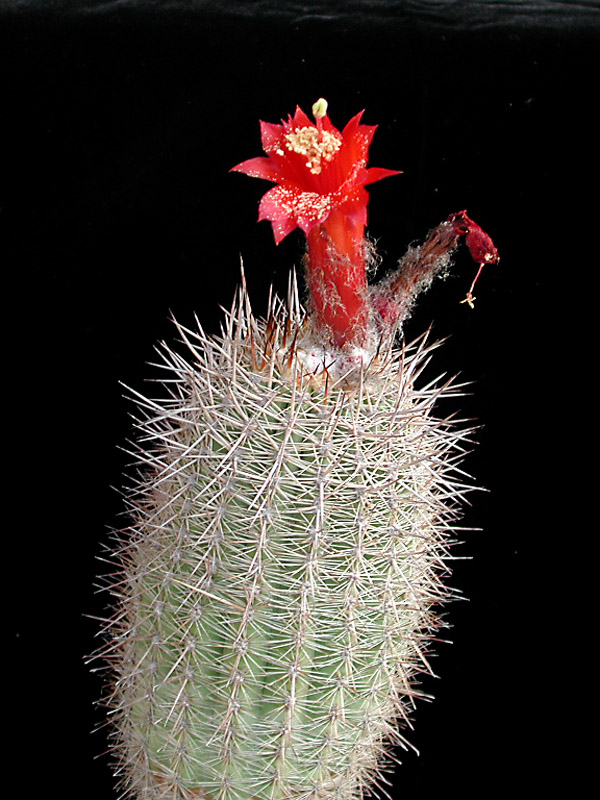 Arequipa sp. Tacna -ex MG24.7 seed
