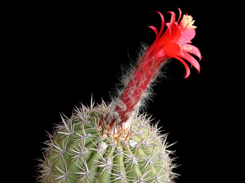 Arequipa weingartiana -KK1203 ex MG24.5 seed