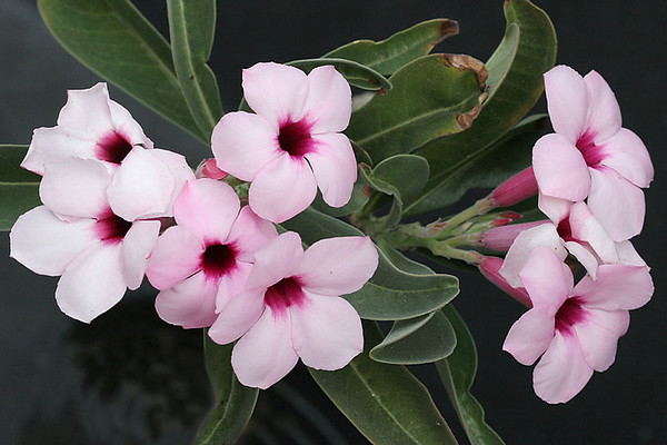 Adenium boehmianum -it's short growing season (3-4 months) makes it  slow to develop to flwering size -from Namibia and Angola