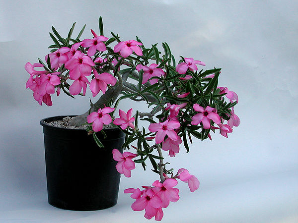 Adenium swazicum, another more typical, pendant form