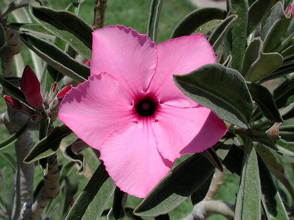Adenium swazicum, an upright growing form