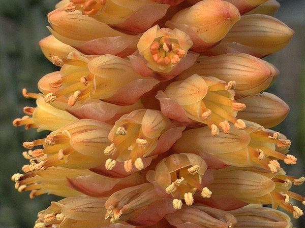 Aloe conifera infloresence -Madagascar