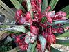 Yucca endlichiana infloresence