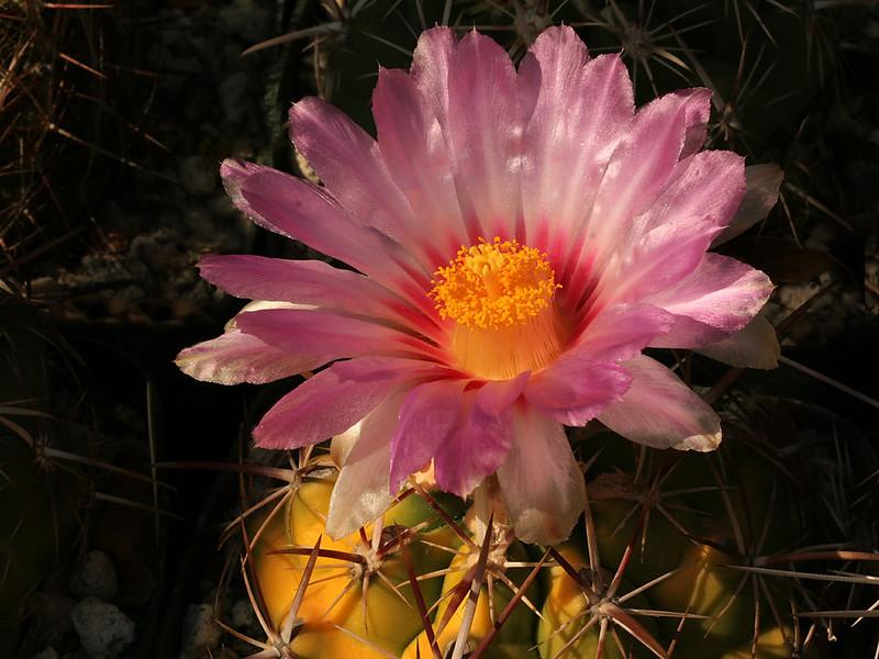 Thelocactus heterochromus -the verigated form in flower
