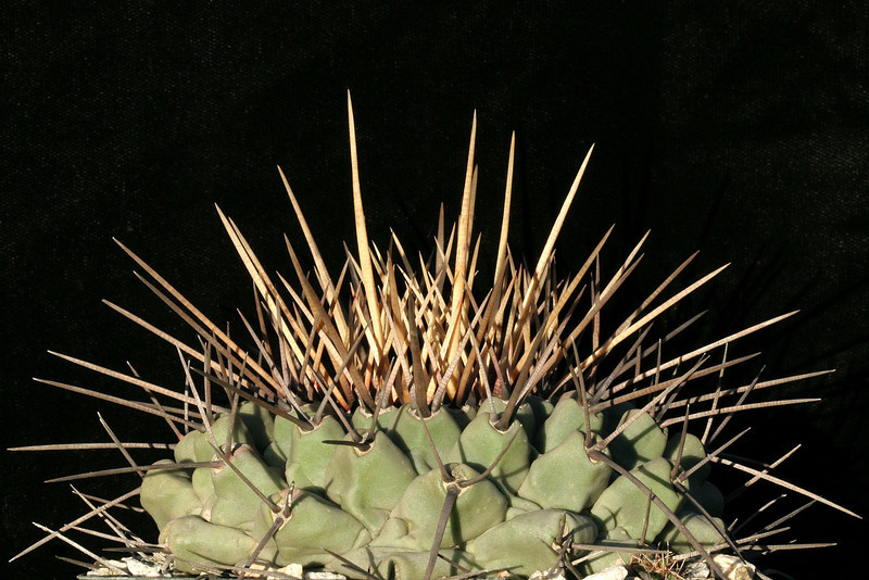 Thelocactus rinconensis v. nidulans from MG1240.4 seed