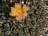 Thelocactus rinconensis, my #724, yellowish flower