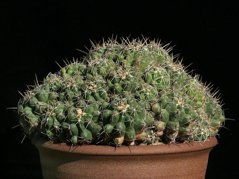 Thelocactus leucacanthus ssp. schmollii -seed of CSD305, Peña Blanca, Querétaro, Mexico