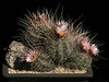 Thelocactus lausseri, an old cluster of a very long spined form, hort ex C&J